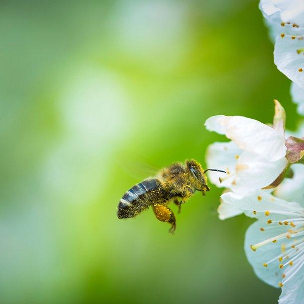 Bienen bei der two S
